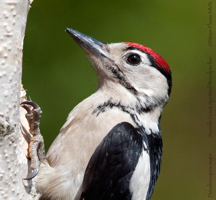 Close up of a juvenile GS Woodpecker