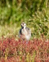 Juvenile Curlew