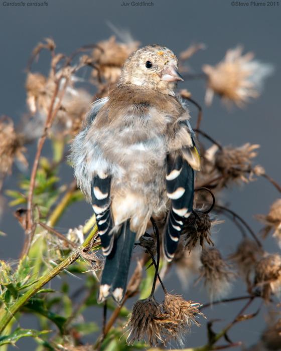 Juvenile Goldfinch