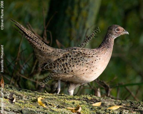Juvenile Hen Pheasant