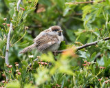 Young Tree Sparrow