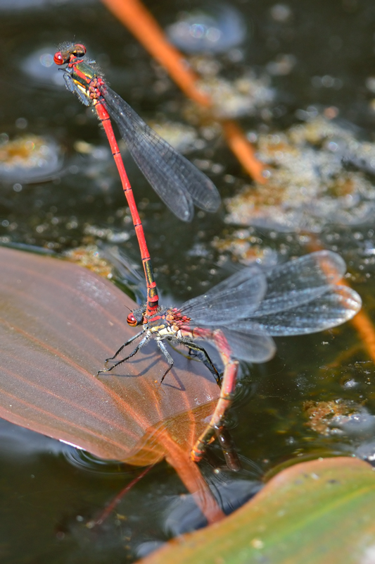 Large Red Damselfly, ovipositing