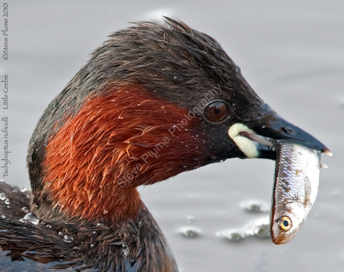 Little Grebe and breakfast