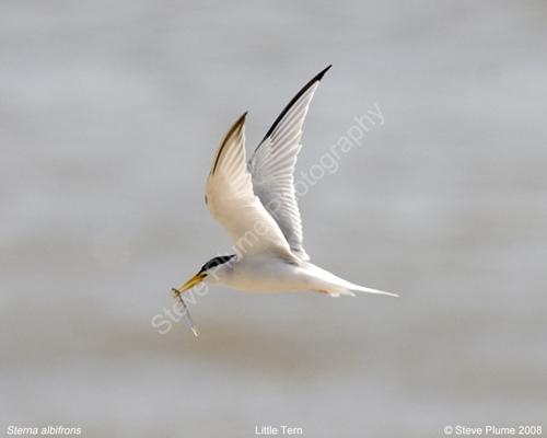 Little Tern & fish