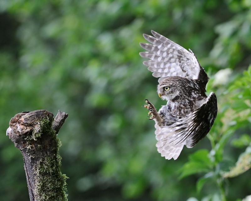 Little Owl on final approach