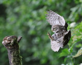 Little Owl on final approach