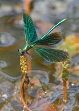 Male Beautiful Demoiselle on guard duty