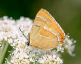 Brown Hairstreak male