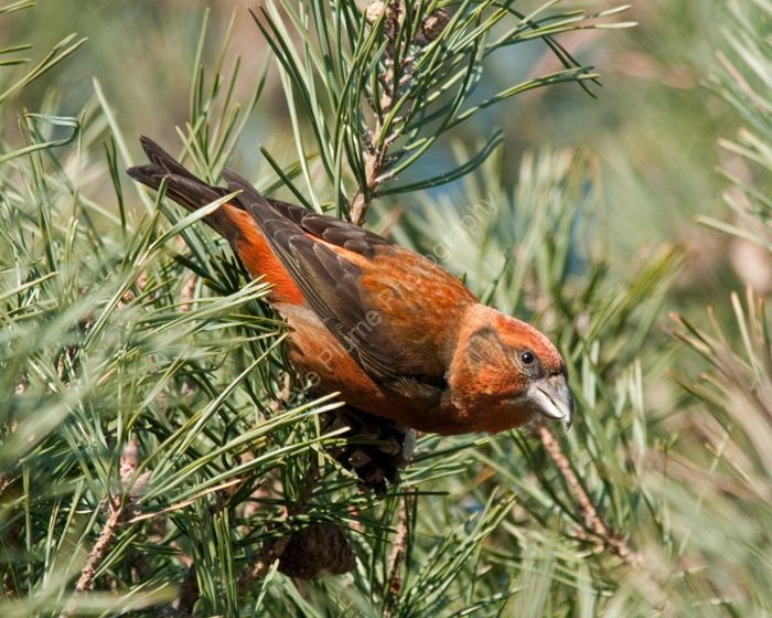 Male Common Crossbill