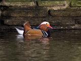 Mandrin Duck