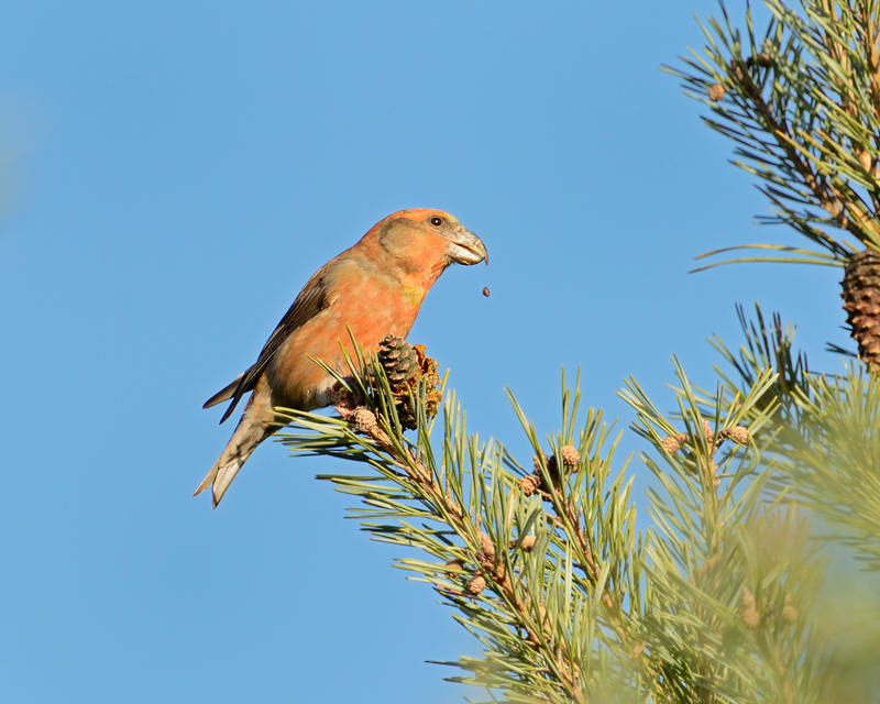 Parrot Crossbill male