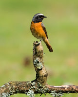 Common Redstart - male