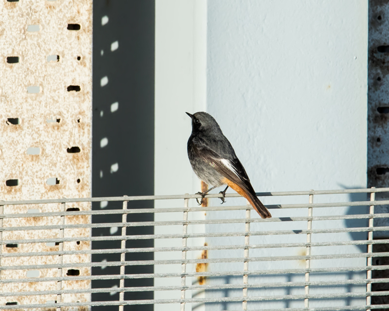 Black Redstart male