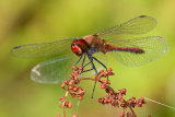 Ruddy Darter, male