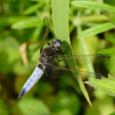 Scarce Chaser - male