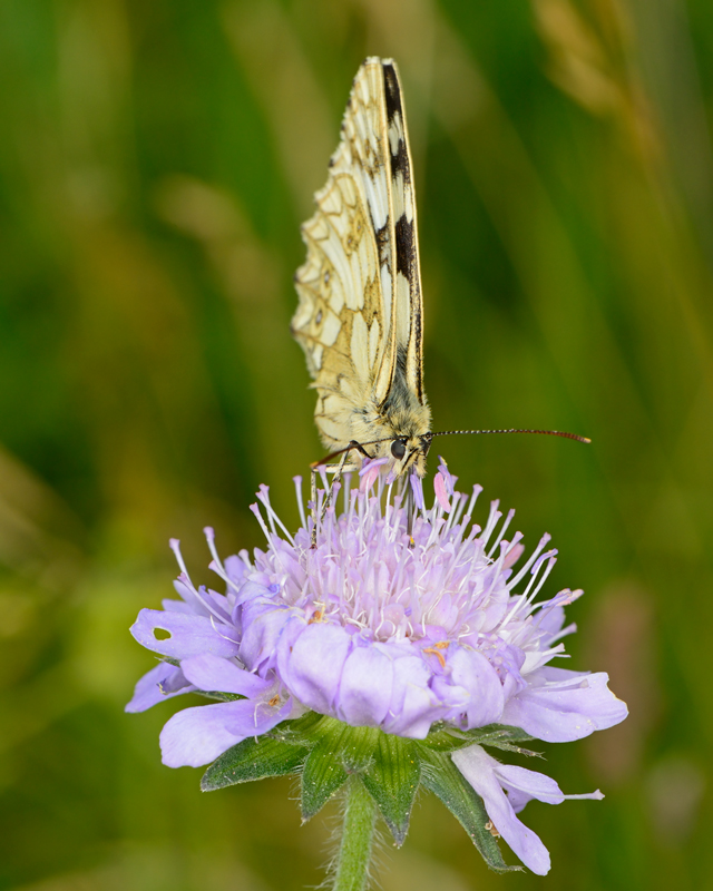 Marbled White on Scabius
