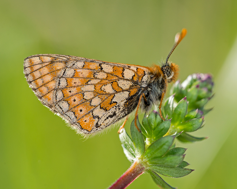 Underwing of a Marsh Fritillary