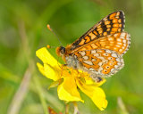 Marsh Fritillary feeding