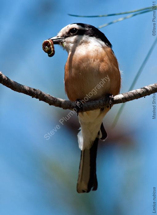 Masked Shrike and snack