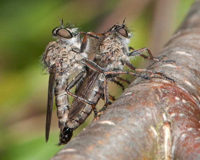Horse Flies mating