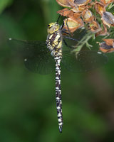 Southern Hawker