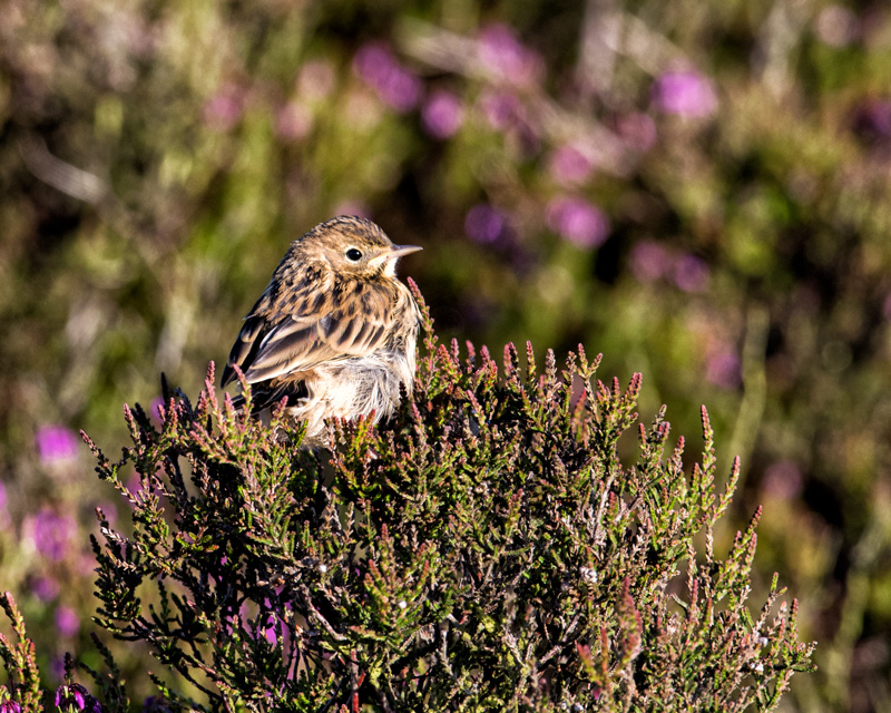Meadow Pipit in heather 2