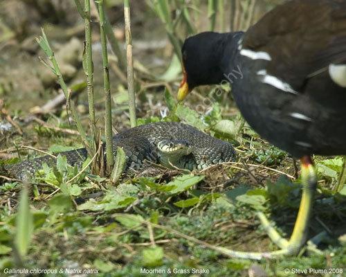 Moorhen vs Grass Snake