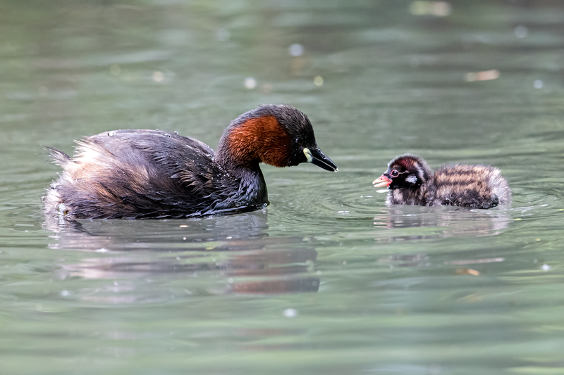 Little Grebe and Chick