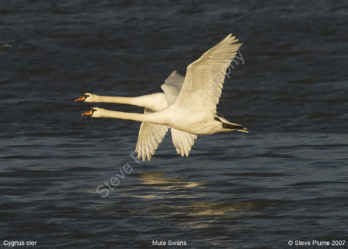 Mute Swans flying low into the setting sun