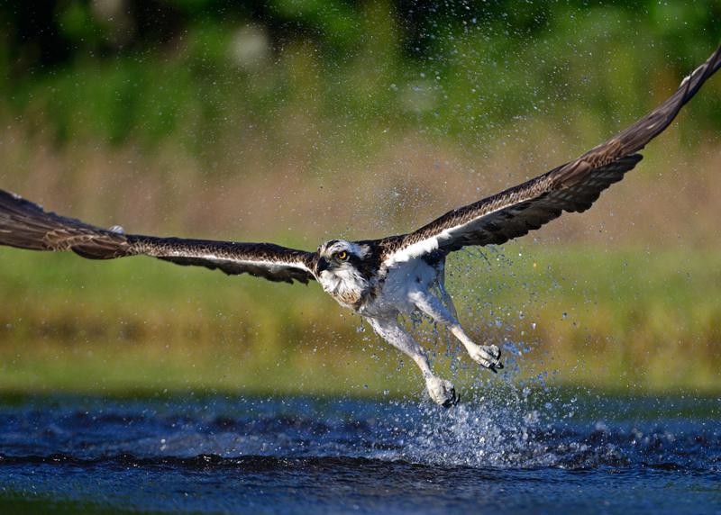 Osprey no fish