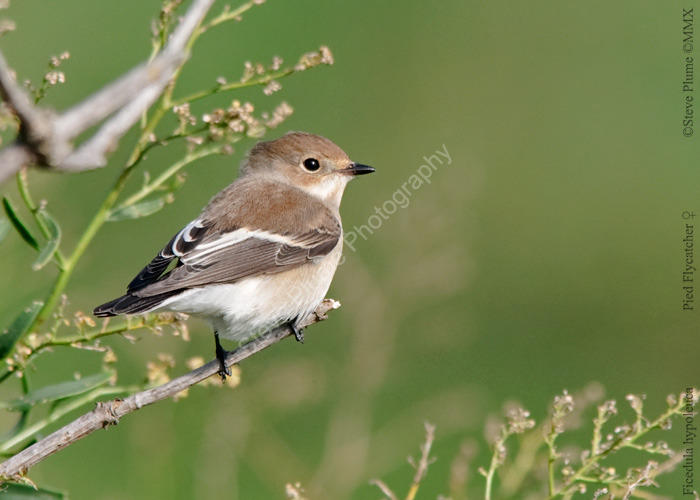 Pied Flycatcher (female)