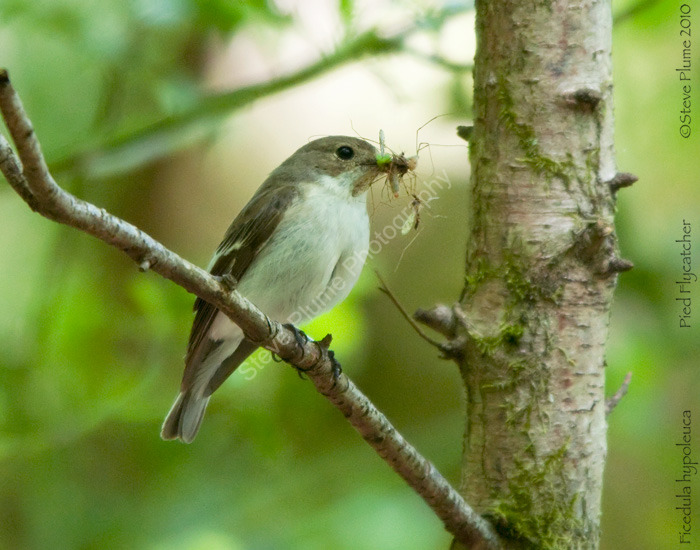 Pied Flycatcher - female