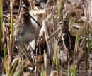 Pair of Snipe