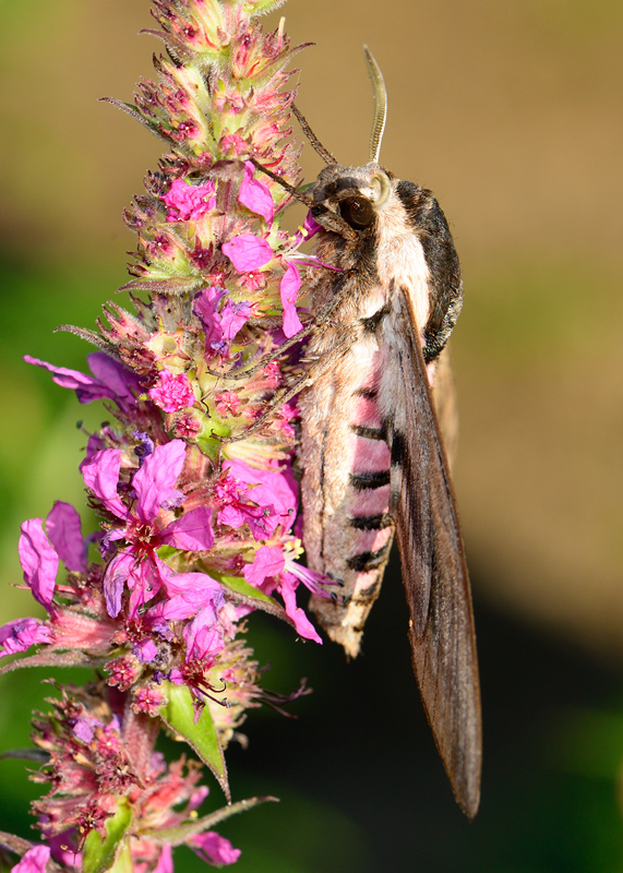 Privat-hawk moth