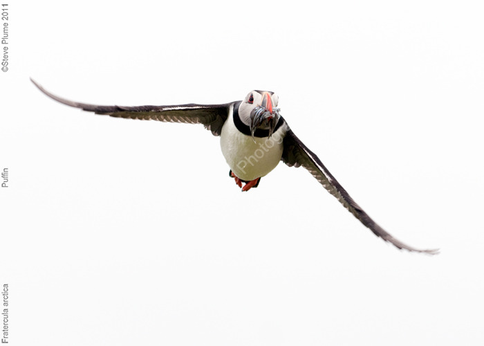 Puffin and sand eel