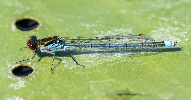 male Red-eyed Damselfly
