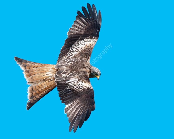 Majestic in flight