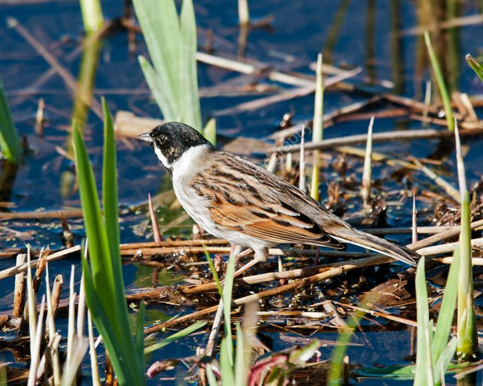 Reed Bunting male