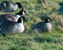 Richardson's Canada Goose