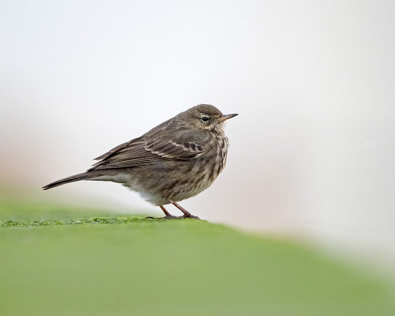 Rock Pipit on green