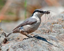 Western Rock Nuthatch