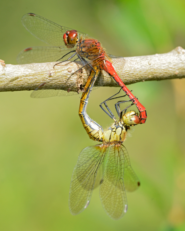 Ruddy Darters mating