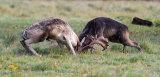 Rutting Fallow Bucks