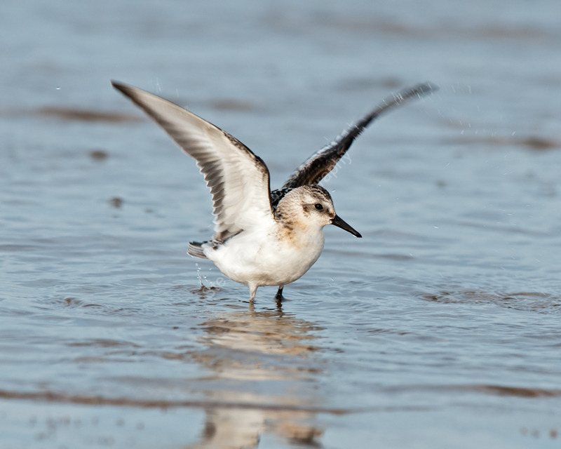 Sanderling bathtime
