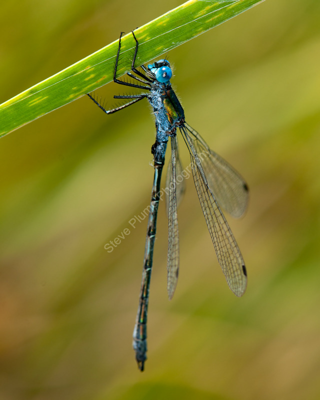 Scarce Emerald Damselfly