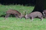 """Sika Deer """"Rutting"""""""