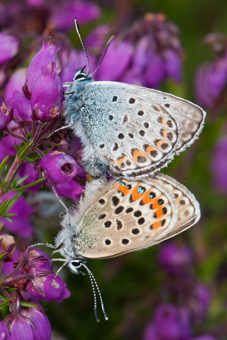 Silver-studded Blue mating