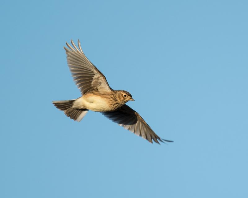 Skylark on the wing