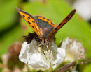 Small Copper feeding