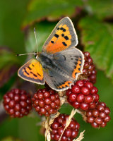 Small Copper on Blackberry